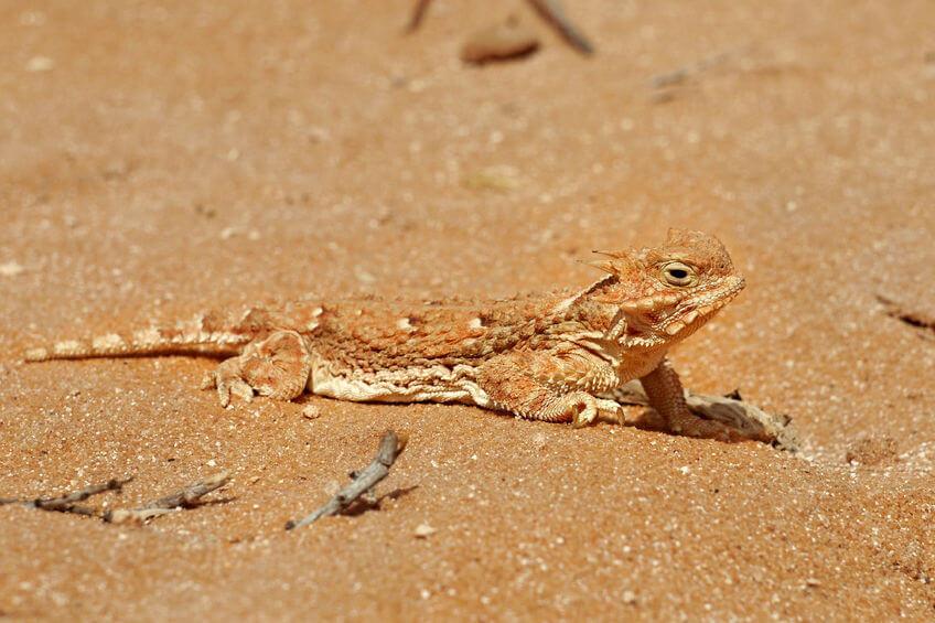 デザートサンド - 爬虫類床材の知識