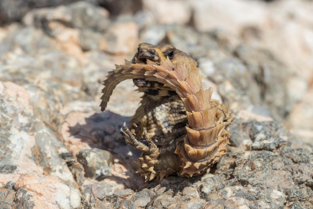 アルマジロトカゲ3 - 【激選】爬虫類を知らない人が驚く、カッコいい爬虫類3種【画像】
