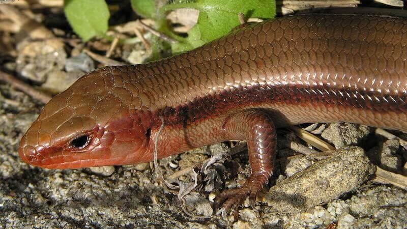 1280px-Plestiodon_japonicus_DSCN2198_1080 - 爬虫類と両生類の違いとは