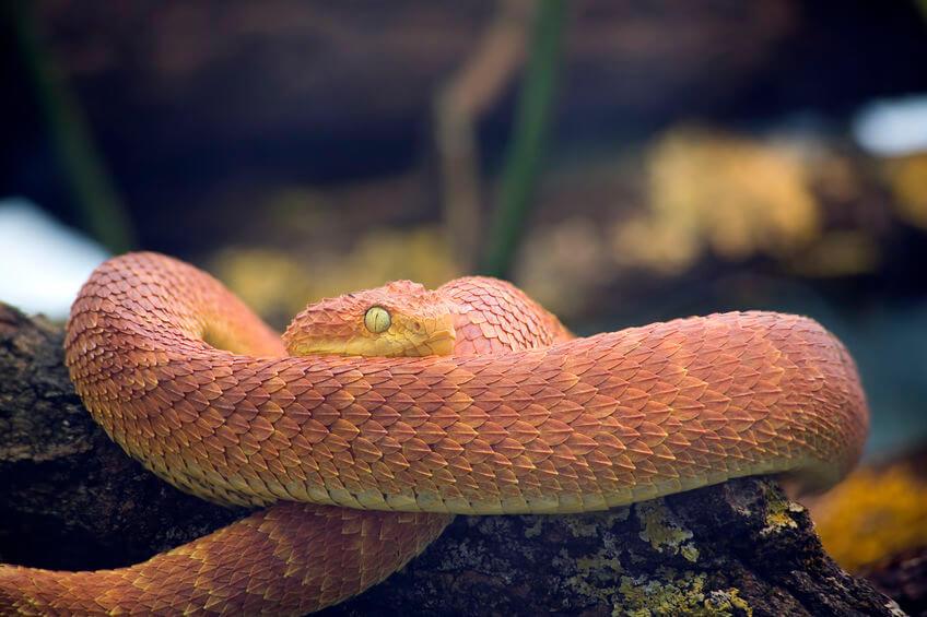 トゲブッシュバイパー - 【激選】爬虫類を知らない人が驚く、カッコいい爬虫類3種【画像】
