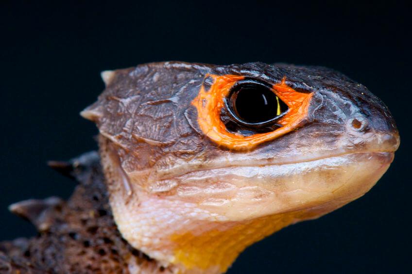 アカメカブトトカゲ - 【激選】爬虫類を知らない人が驚く、カッコいい爬虫類3種【画像】