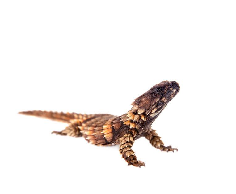 アルマジロトカゲ - 【激選】爬虫類を知らない人が驚く、カッコいい爬虫類3種【画像】