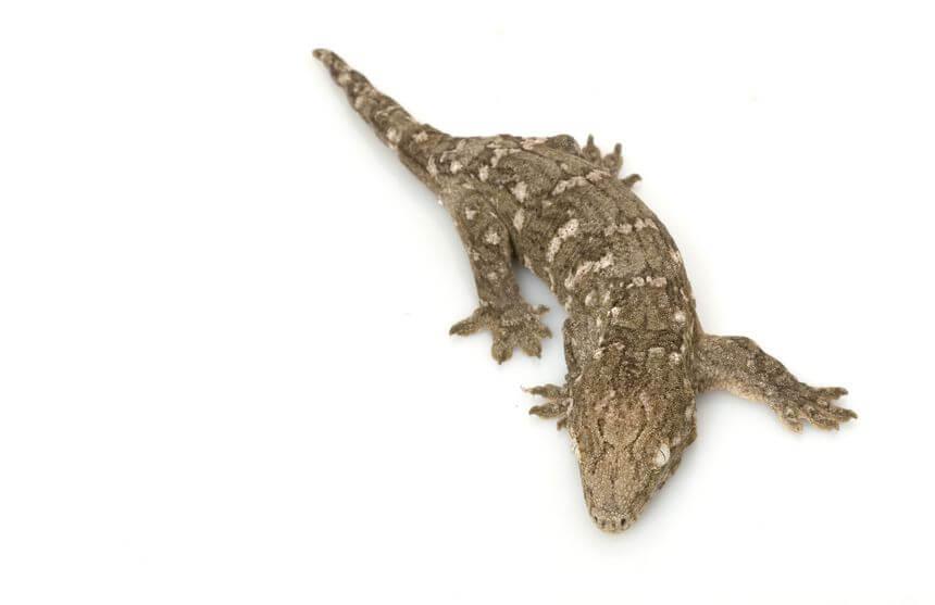 ツギオミカドヤモリ - 専用・人工フードで育てられるオススメの爬虫類
