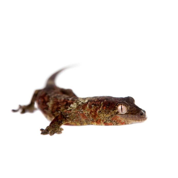 マモノミカドヤモリ - 専用・人工フードで育てられるオススメの爬虫類