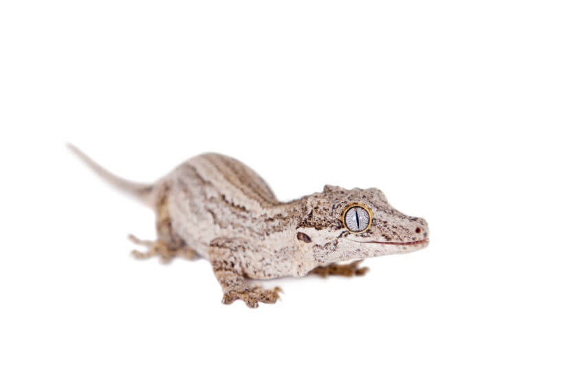 ツノミカドヤモリ - 専用・人工フードで育てられるオススメの爬虫類