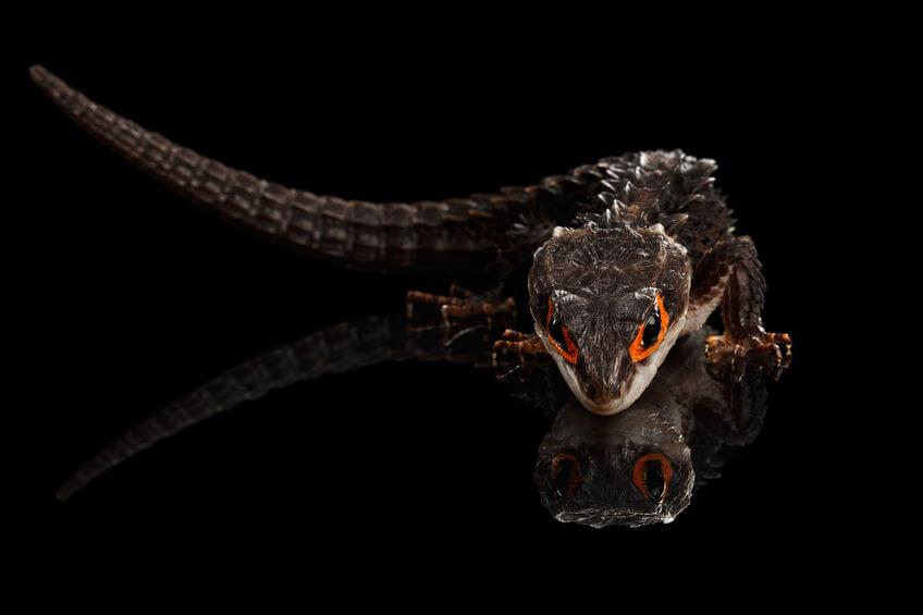 【激選】爬虫類を知らない人が驚く、カッコいい爬虫類3種【画像】 - 【激選】爬虫類を知らない人が驚く、カッコいい爬虫類3種【画像】
