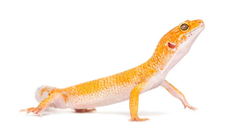 ヒョウモントカゲモドキ - 【爬虫類初心者におすすめ】トカゲ・ヤモリ・カメ・ヘビの人気種類ご紹介
