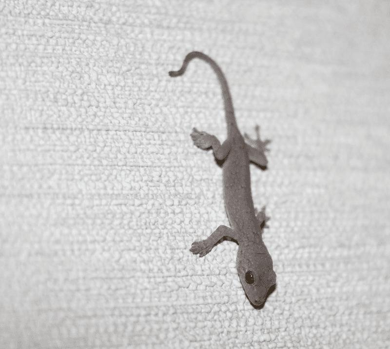 gecko-min - ニホンヤモリの飼育方法・寿命や相場を知りたい!