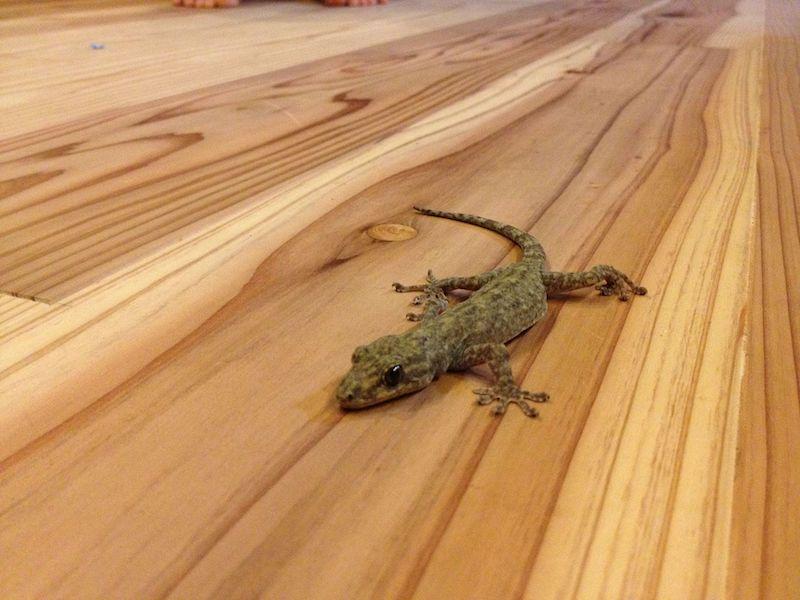 ヤクヤモリ - 日本に生息する爬虫類、両生類たち