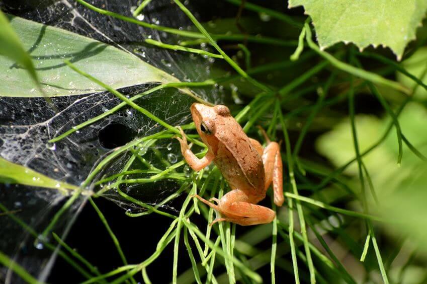 ニホンアカガエル - 日本に生息する爬虫類、両生類たち