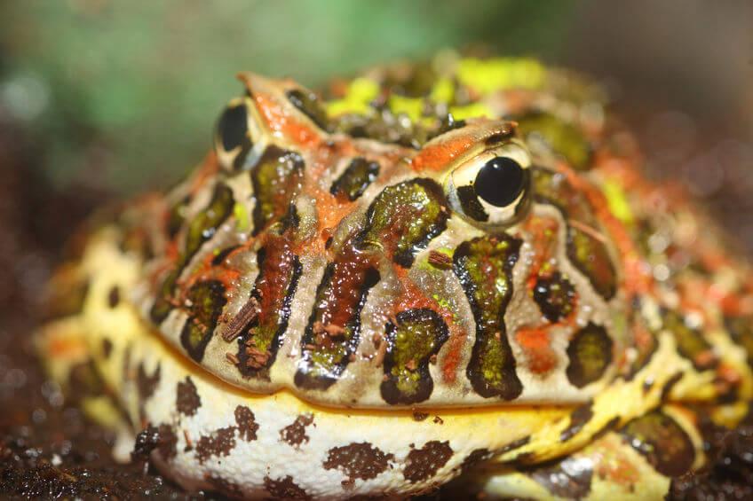 ツノガエルの飼育 - ツノガエルの飼育方法・寿命や相場を知りたい!
