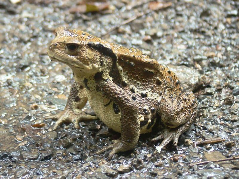 ナガレヒキガエル - 日本に生息する爬虫類、両生類たち