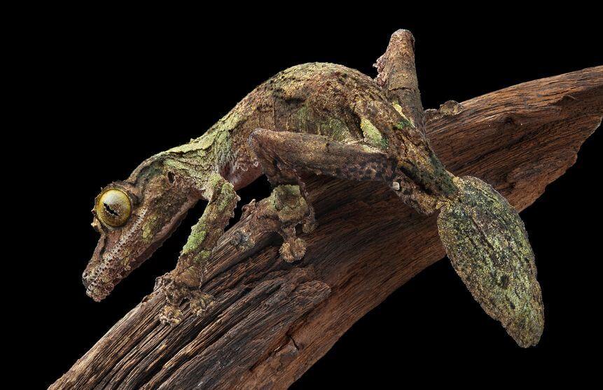 ヤマビタイヘラオヤモリ - 爬虫類