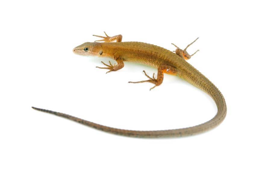 カナヘビ - 爬虫類