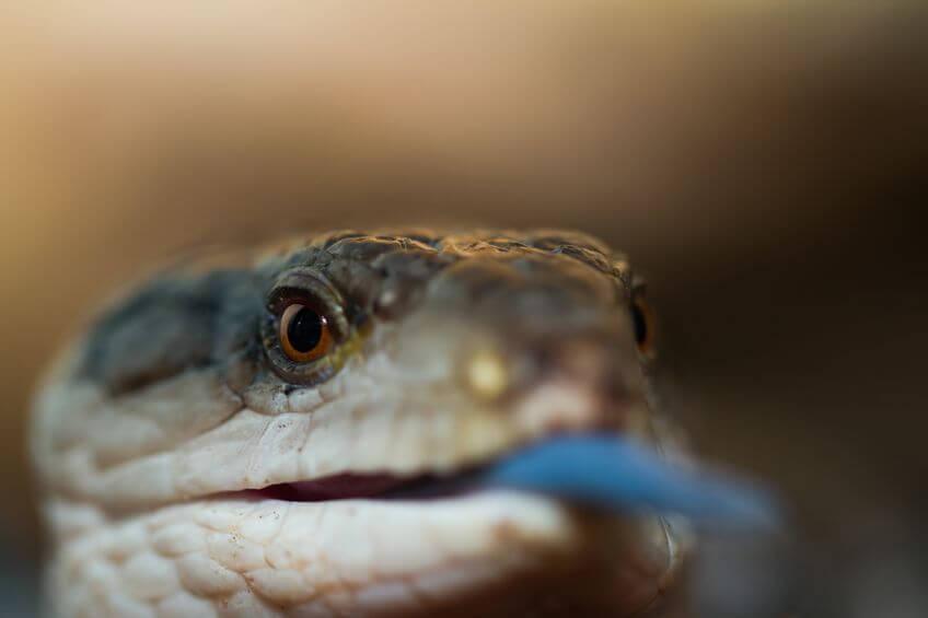 アオジタトカゲ - 爬虫類