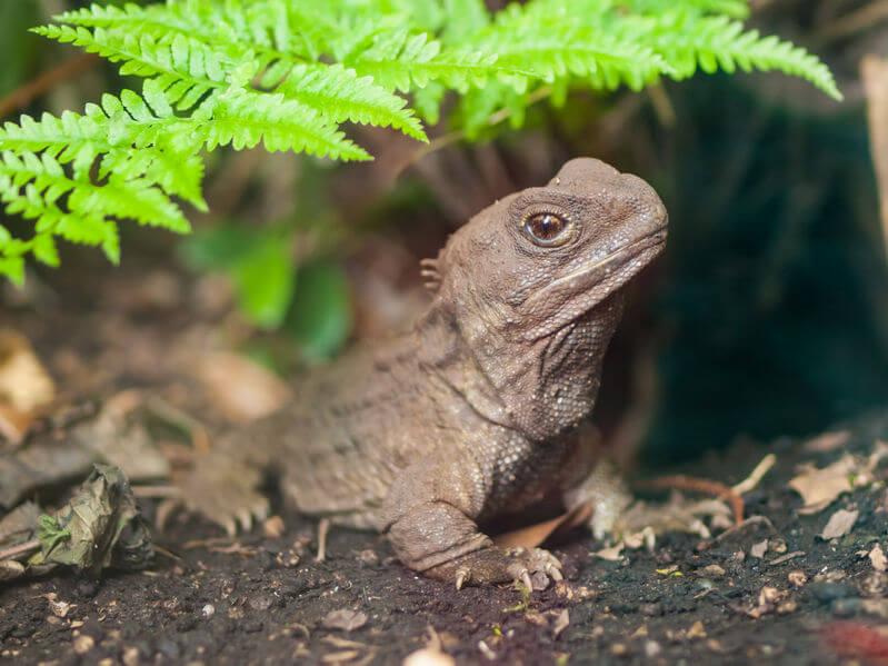 ムカシトカゲ - 生きた化石といわれる爬虫類・両生類