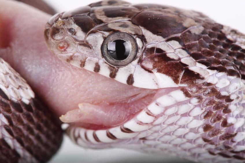 コーンスネーク - 爬虫類