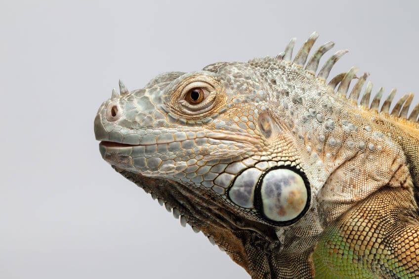 グリーンイグアナ - 爬虫類