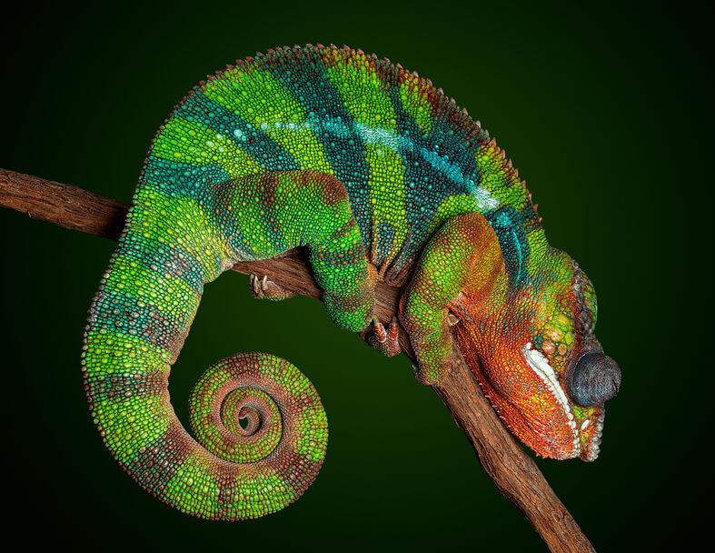 パンサーカメレオン - 爬虫類