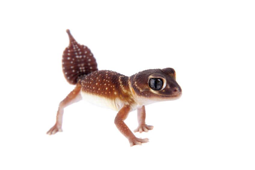 ナメハダタマオヤモリ - 爬虫類