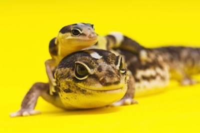 レオパと同じ環境で飼育ができる!地上棲のヤモリベスト7 - レオパと同じ環境で飼育ができる!地上棲のヤモリベスト7