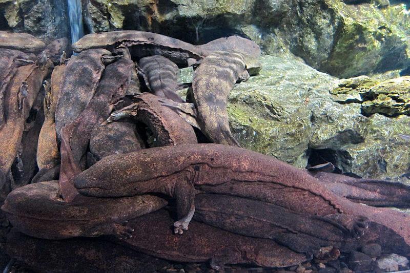 オオサンショウウオ - 生きた化石といわれる爬虫類・両生類