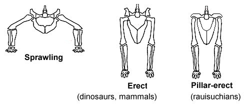 Sprawling_and_erect_hip_joints_-_horiz - 爬虫類