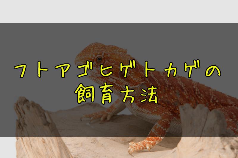 フトアゴヒゲトカゲ - 【爬虫類初心者におすすめ】トカゲ・ヤモリ・カメ・ヘビの人気種類ご紹介