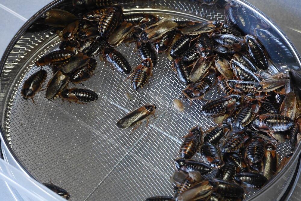 dubia-clean - 実は優秀な餌!禁断のゴキブリ繁殖[デュビア編]