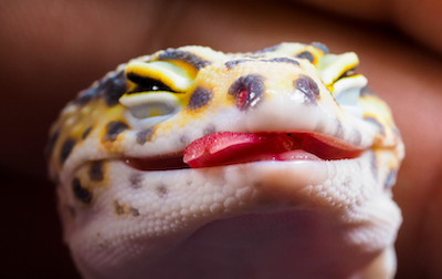 leopard-gecko-smile - ヒョウモントカゲモドキの餌 まとめ  各餌の特徴と メリット・デメリットを解説