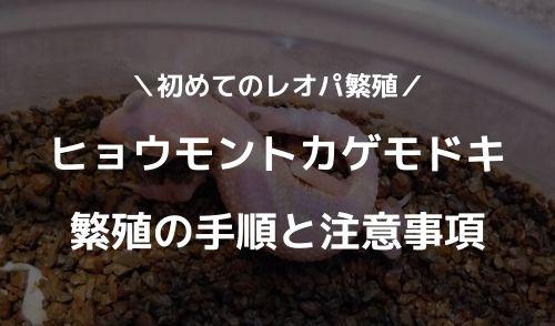 【初めてのレオパ繁殖】ヒョウモントカゲモドキ繁殖の手順と注意事項 - 【初めてのレオパ繁殖】ヒョウモントカゲモドキ繁殖の手順と注意事項