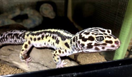 leopa-breed-h2-2 - 【初めてのレオパ繁殖】ヒョウモントカゲモドキ繁殖の手順と注意事項