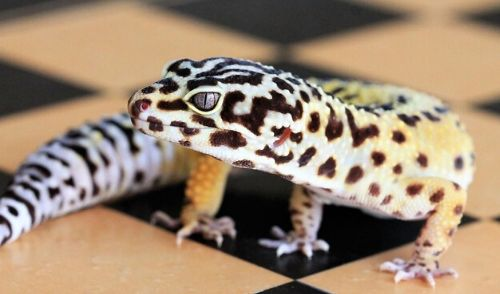leopa-breed-h2-3 - 【初めてのレオパ繁殖】ヒョウモントカゲモドキ繁殖の手順と注意事項