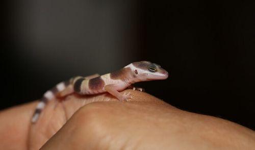 leopa-breed-h2-5 - 【初めてのレオパ繁殖】ヒョウモントカゲモドキ繁殖の手順と注意事項