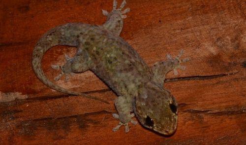 名称未設定のデザイン (1) - 爬虫類や両生類はこんなにかわいい!ペットに出来る厳選5種紹介