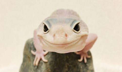 名称未設定のデザイン (2) - 爬虫類や両生類はこんなにかわいい!ペットに出来る厳選5種紹介