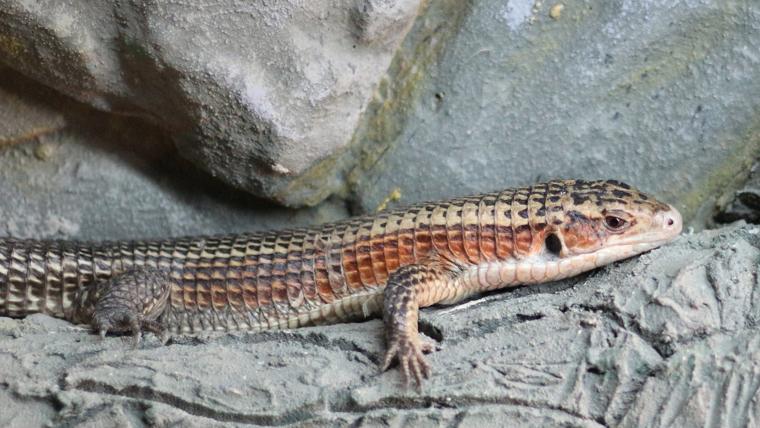 sudan-plated-lizard1 - オニプレートトカゲの特徴や飼育方法を解説【初心者向け】