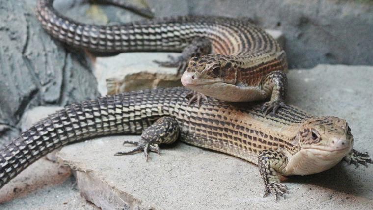 sudan-plated-lizard2 - オニプレートトカゲの特徴や飼育方法を解説【初心者向け】